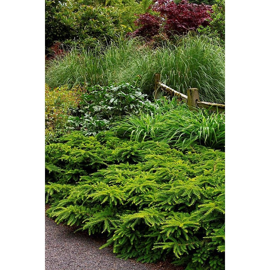 Monrovia 2.6-Quart Emerald Spreader Japanese Yew Foundation/Hedge Shrub