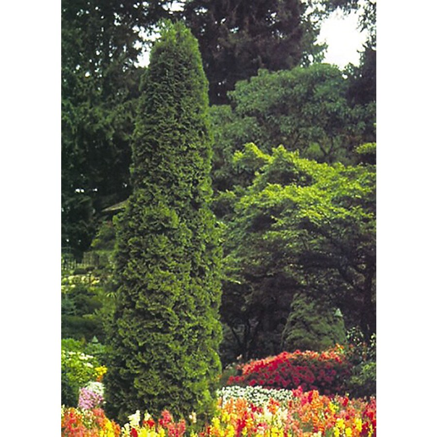 Monrovia 1.6-Gallon Degroot's Spire Arborvitae Screening Shrub