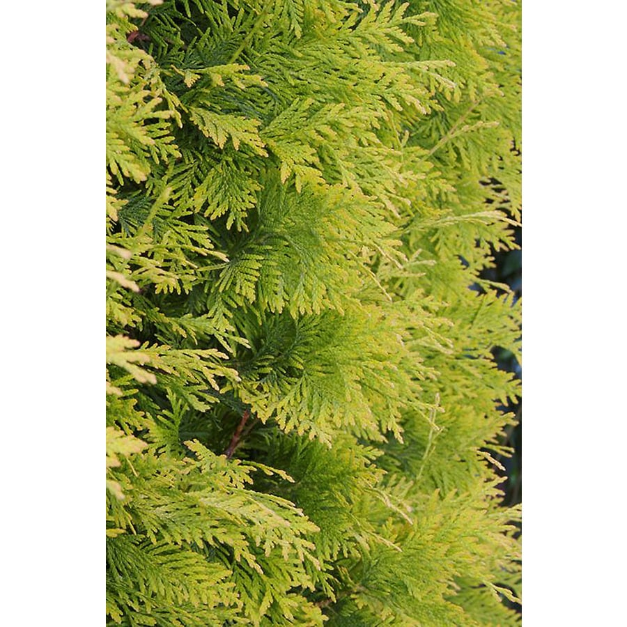 Monrovia 1.6-Gallon Yellow Ribbon Arborvitae Screening Shrub