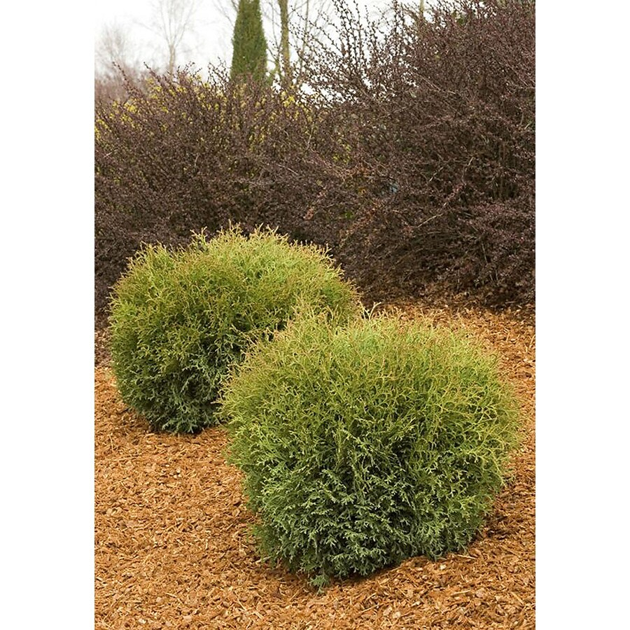 Monrovia 3.58-Gallon Hetz Midget Arborvitae Foundation/Hedge Shrub