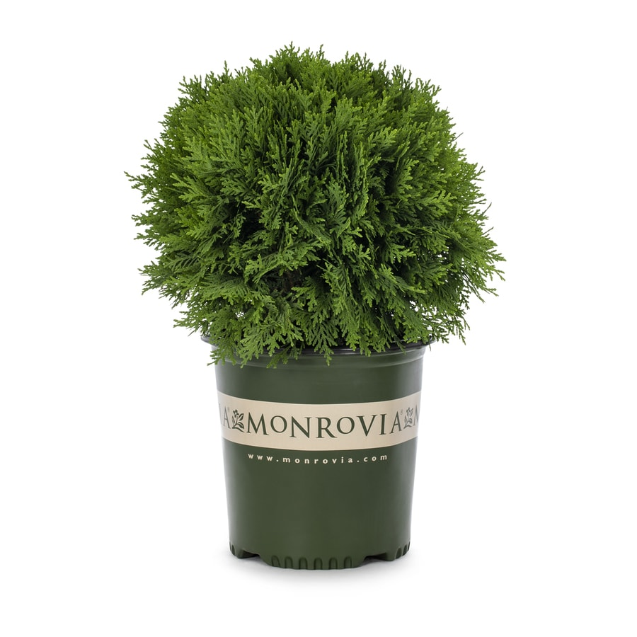 Monrovia 1.6-Gallon Danica Arborvitae Foundation/Hedge Shrub