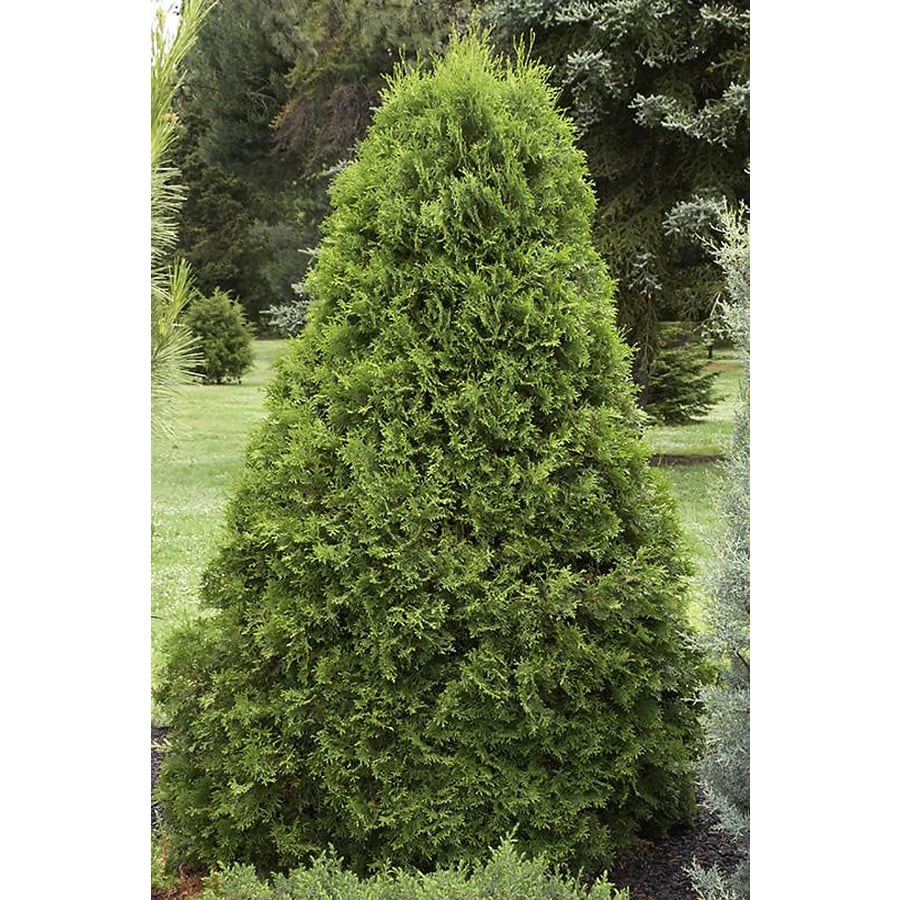 Monrovia 2.6-Quart Emerald Arborvitae Screening Shrub