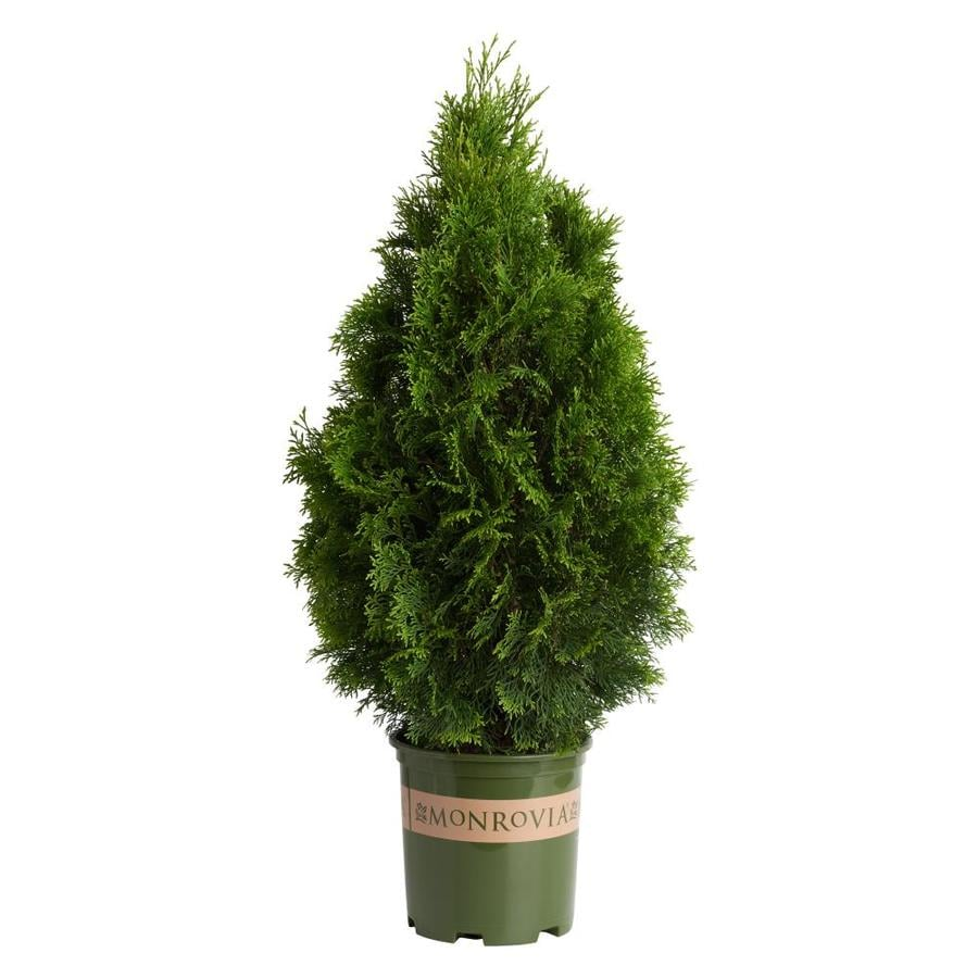 Monrovia 1.6-Gallon Emerald Arborvitae Screening Shrub