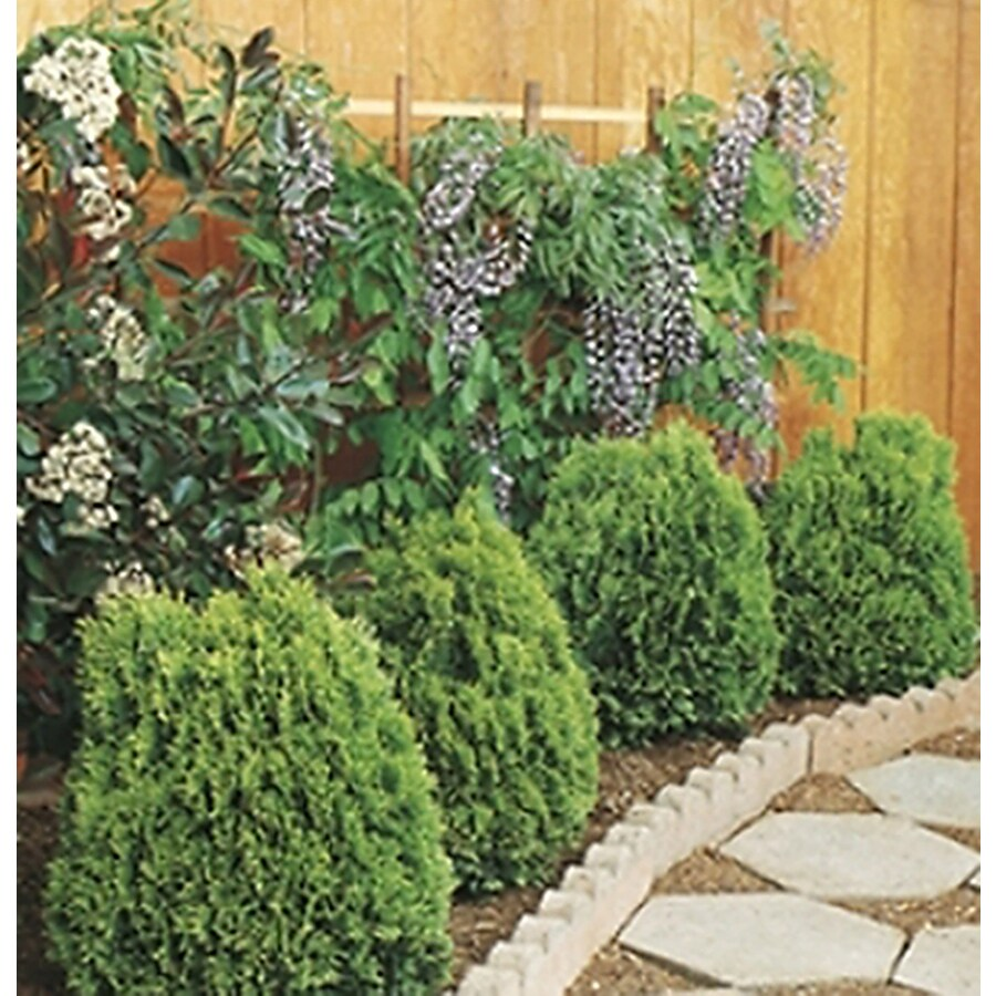 Monrovia 1.6-Gallon Westmont Arborvitae Foundation/Hedge Shrub