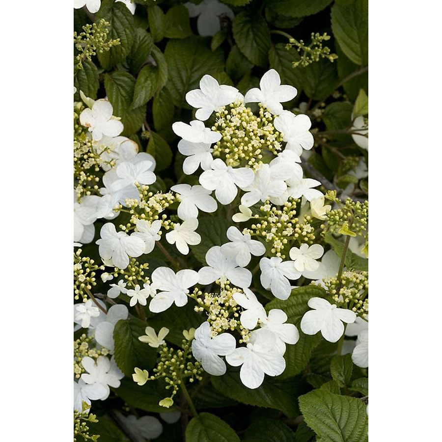 Monrovia 3.58-Gallon White Summer Snowflake Viburnum Flowering Shrub