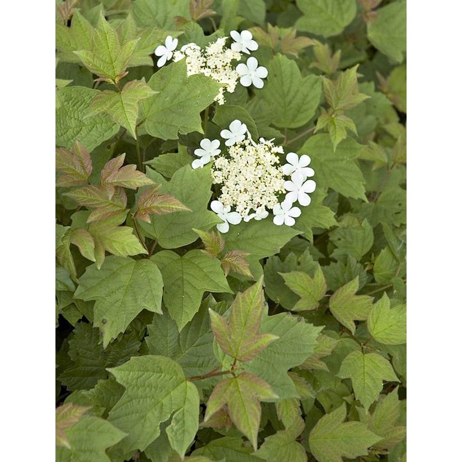 Shop Monrovia 16 Gallon White Dwarf Cranberry Bush Flowering Shrub