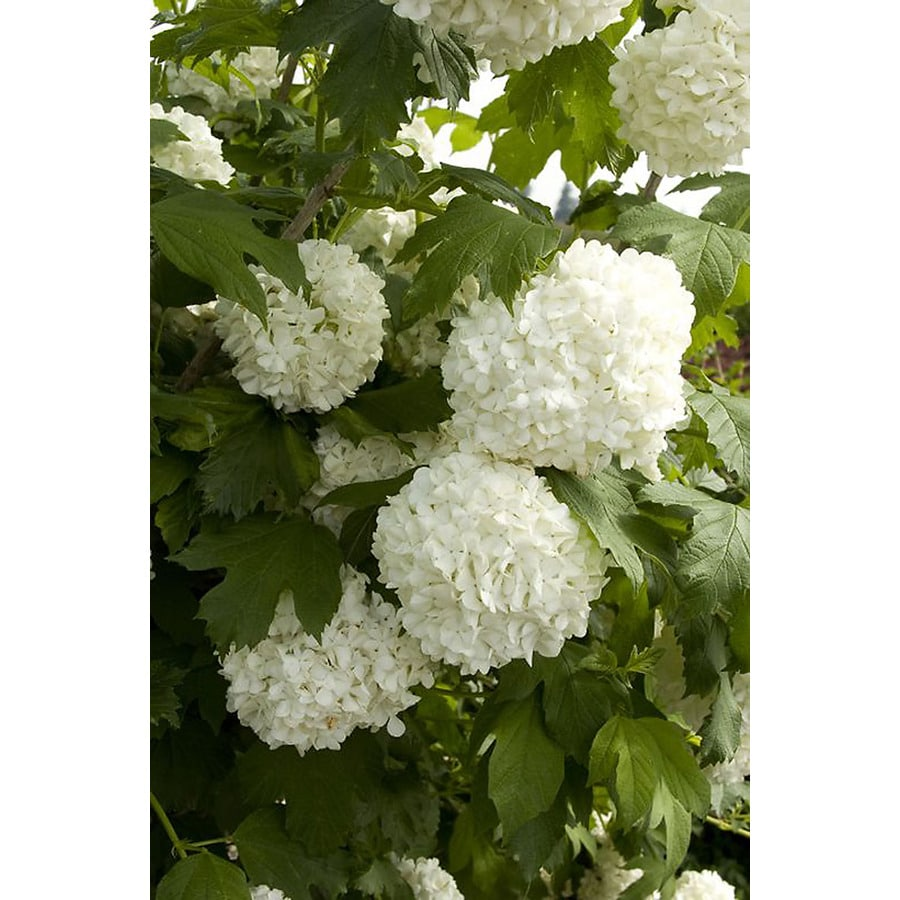 Monrovia 3.58-Gallon White Eastern Snowball Flowering Shrub