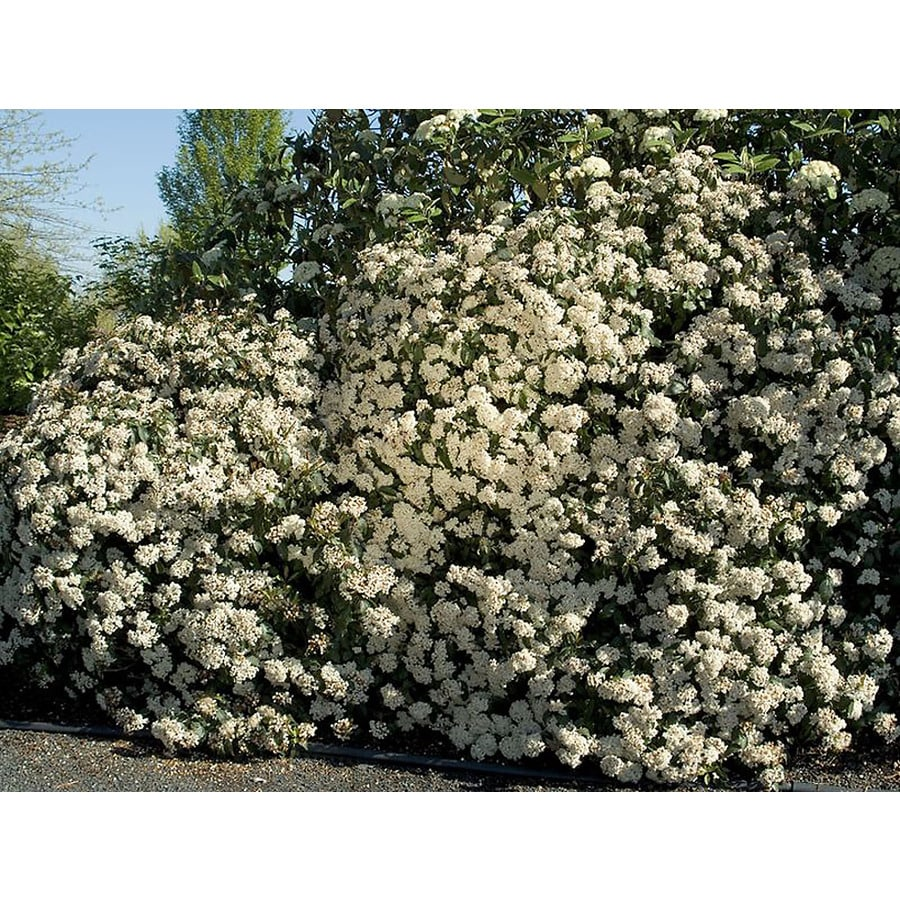 Monrovia 3.58-Gallon White Spring Bouquet Laurustinus Flowering Shrub