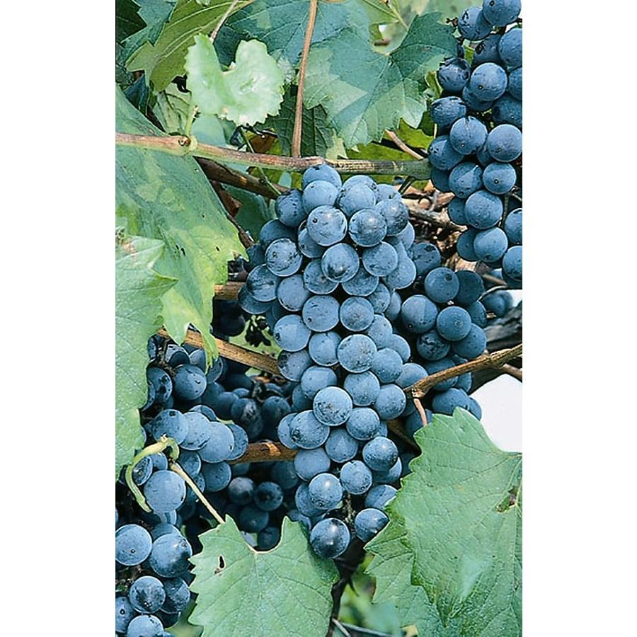 Monrovia 3-Quart Eastern Concord Grape