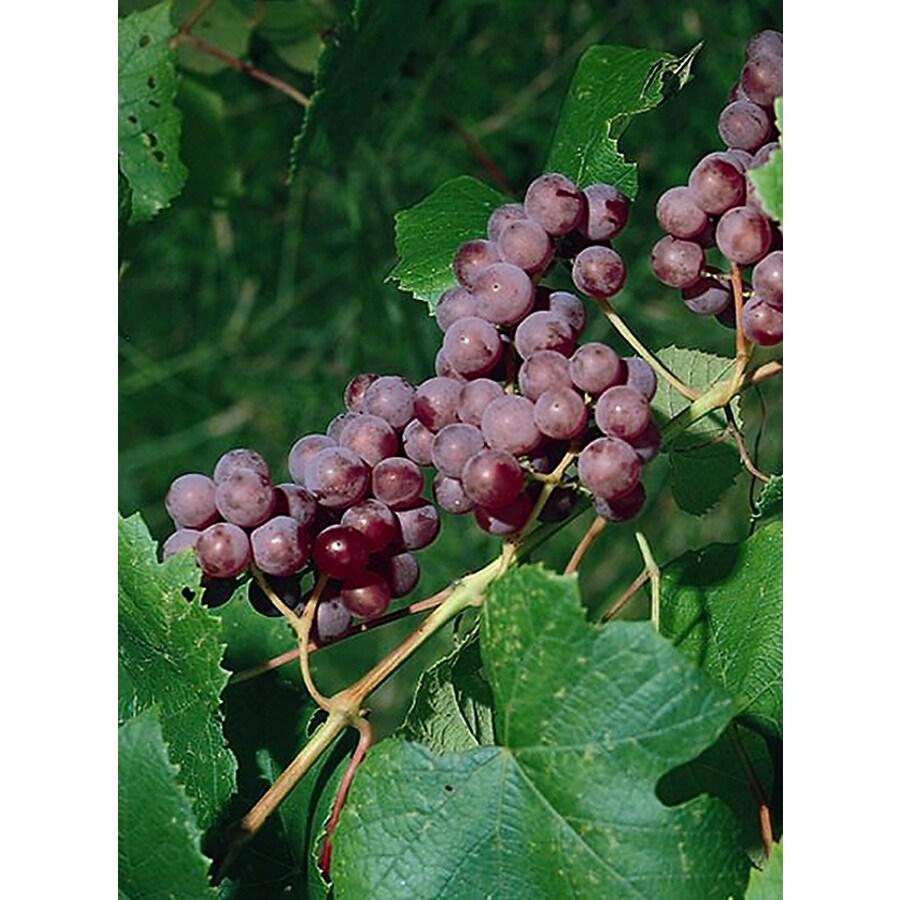 Monrovia 3 Quart- Catawba Grape