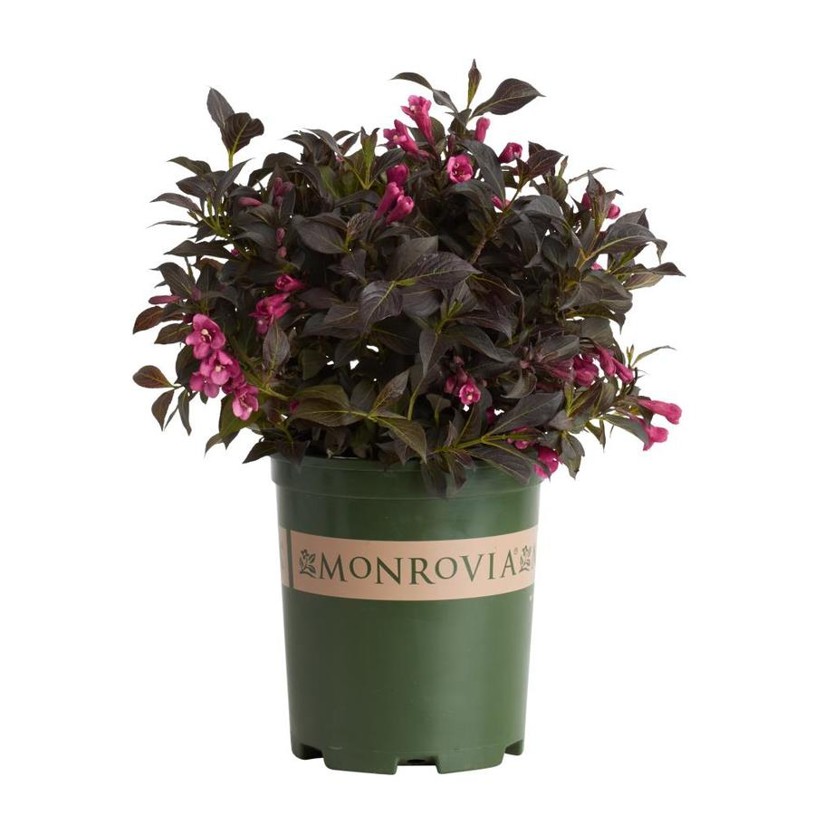 Monrovia 2.6-Quart Pink Dark Horse Weigela P14381 Flowering Shrub