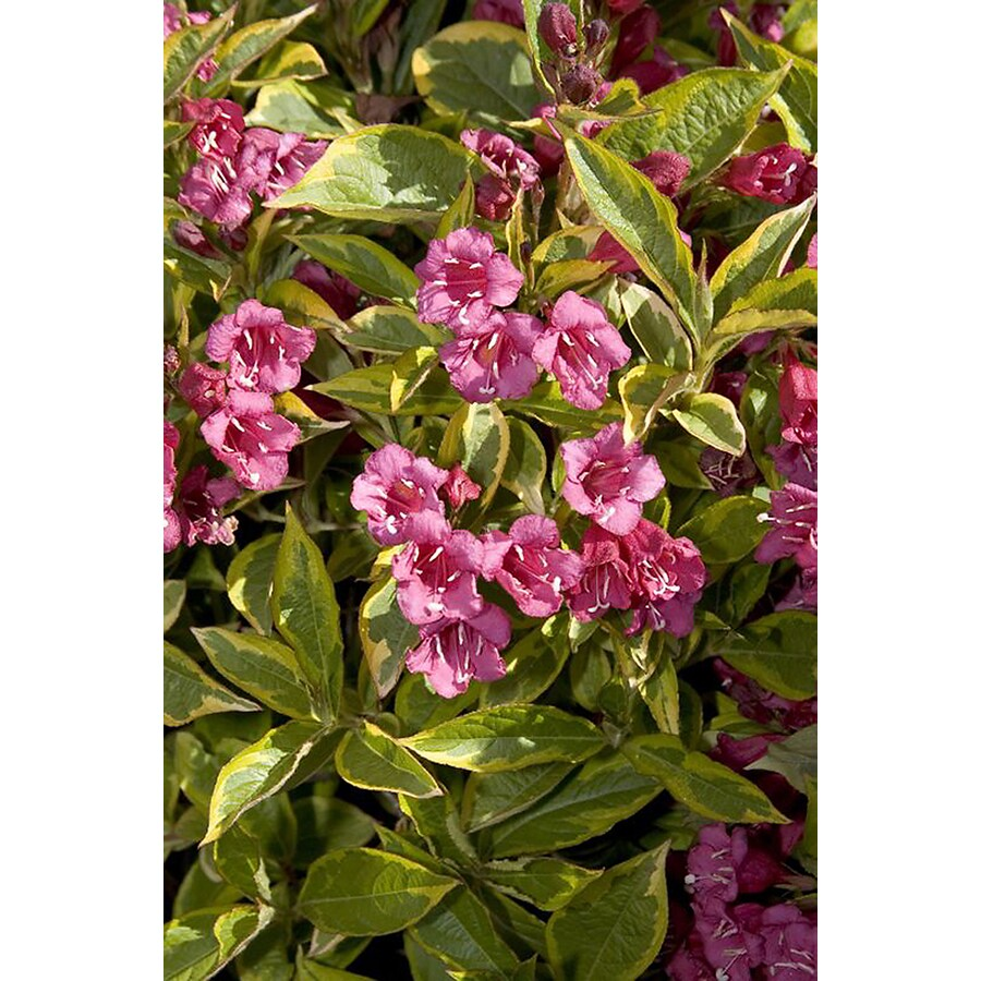 Monrovia 2.6-Quart Red French Lace Weigela P12666 Flowering Shrub