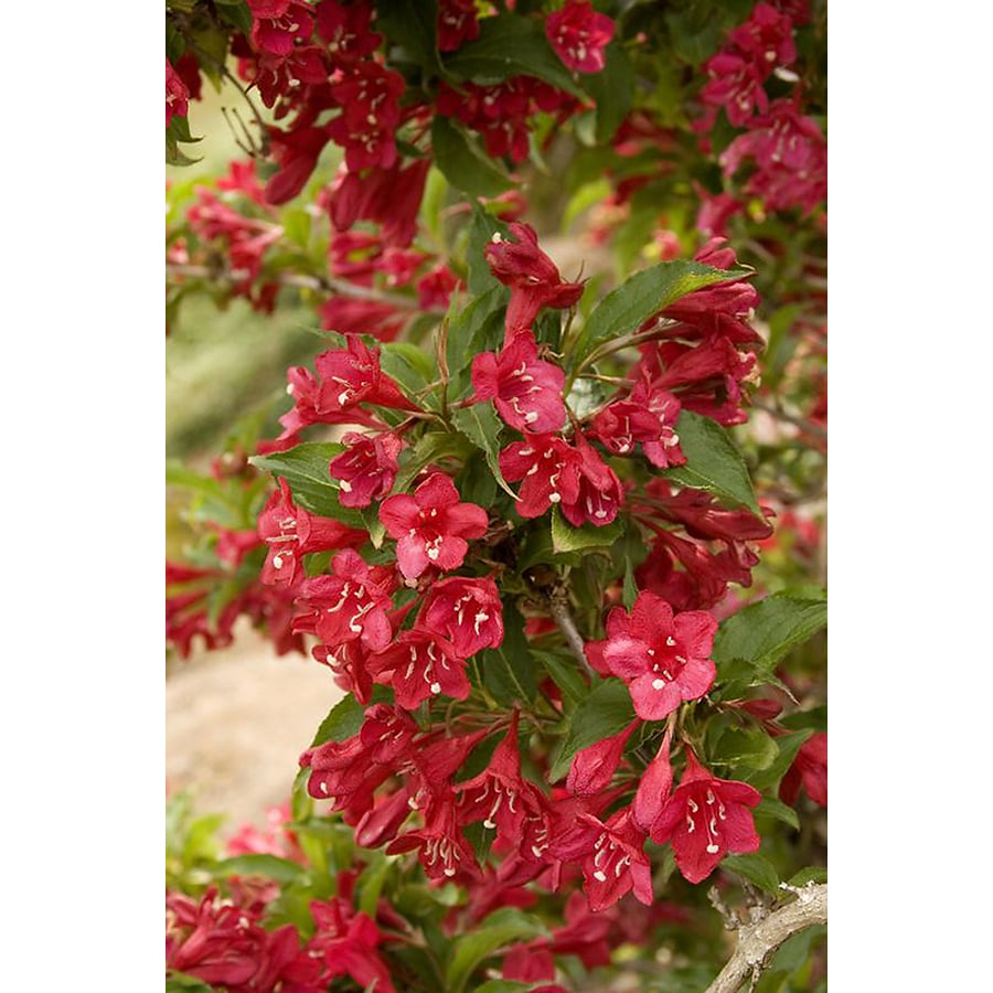 Monrovia 1.6-Gallon Red Prince Weigela Flowering Shrub