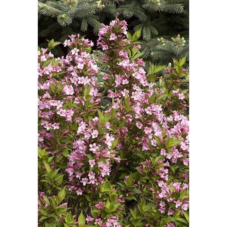 Monrovia 2.6-Quart Pink Poppet Weigela Flowering Shrub