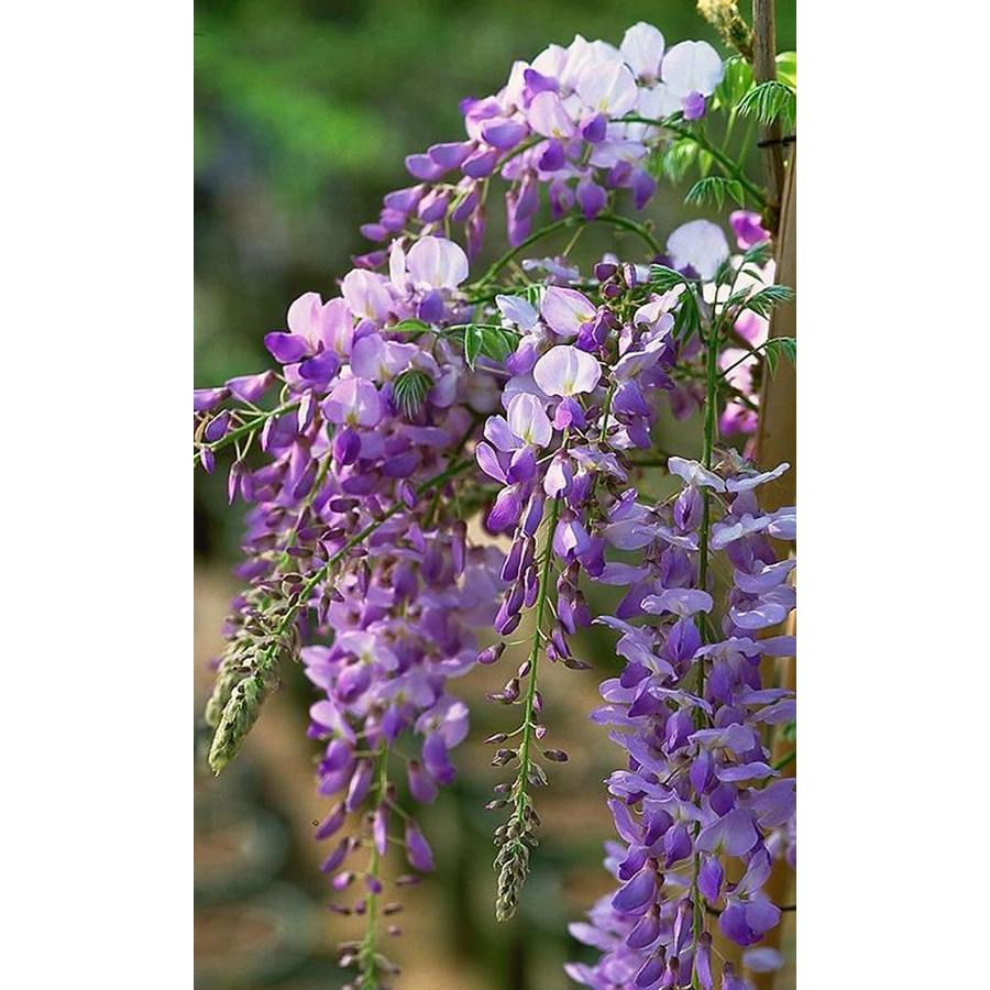 Monrovia 2.6-Quart Texas Purple Japanese Wisteria