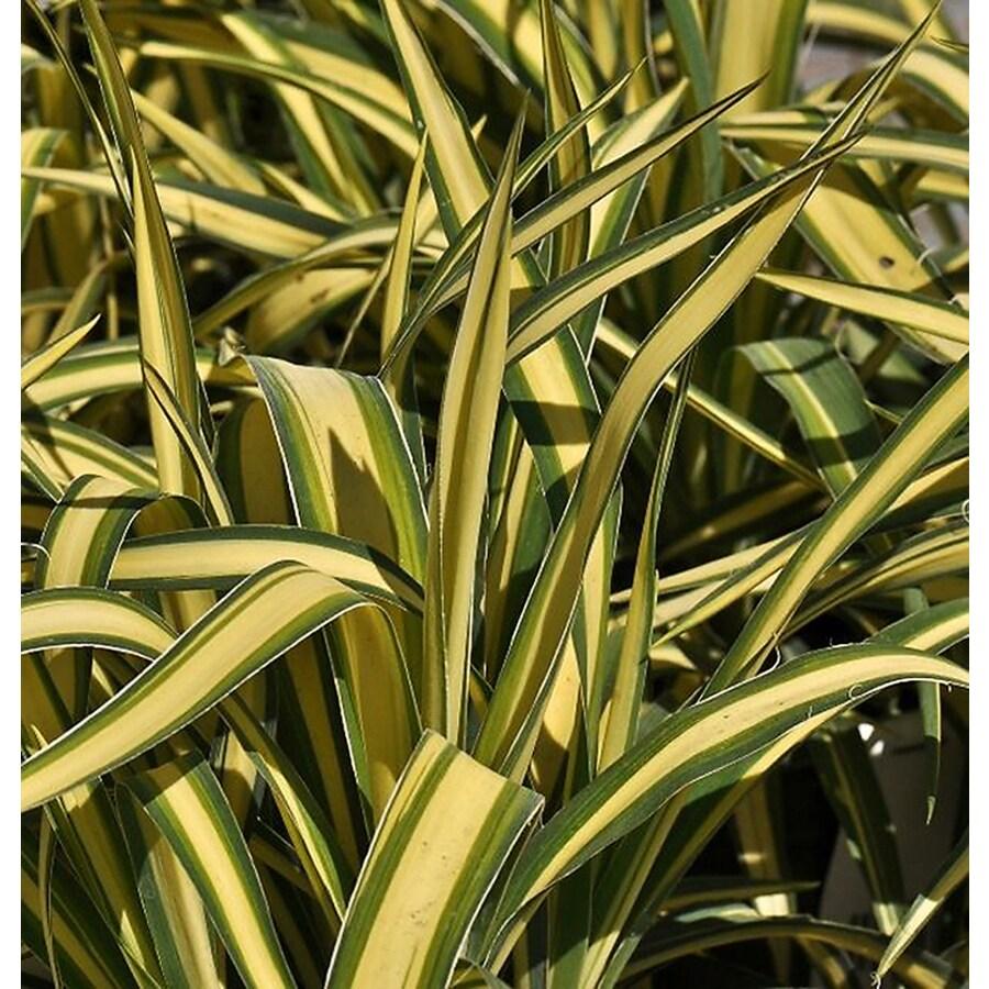 Monrovia 3.58-Gallon Golden Sword Yucca