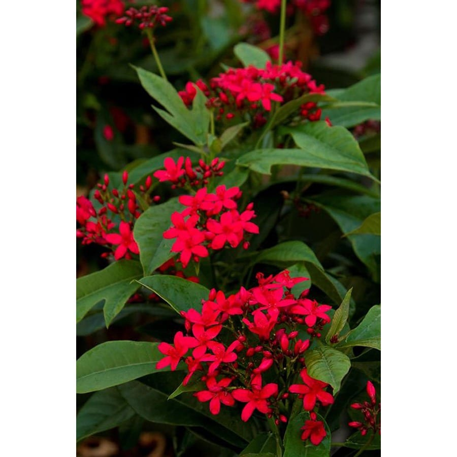 Monrovia 2.6-Quart Red Compact Jatropha Flowering Shrub