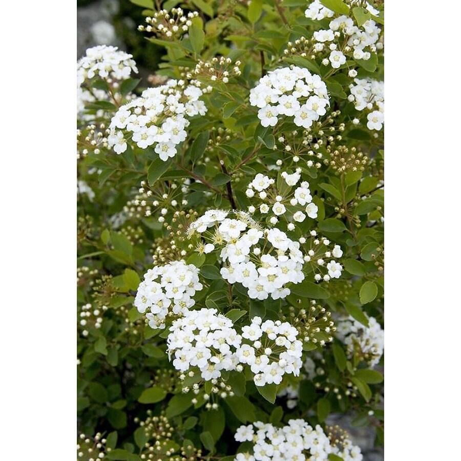 Monrovia 2.6-Quart White Renaissance Spirea Flowering Shrub