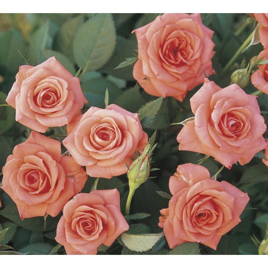 Monrovia 1.6-Gallon Salmon Sunblaze Rose (L24836)