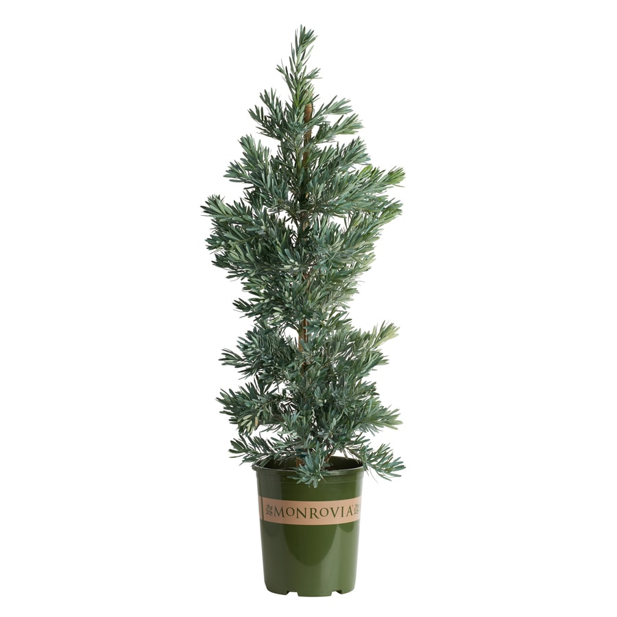 Monrovia 3.58-Gallon Icee Blue Yellow-Wood Feature Tree