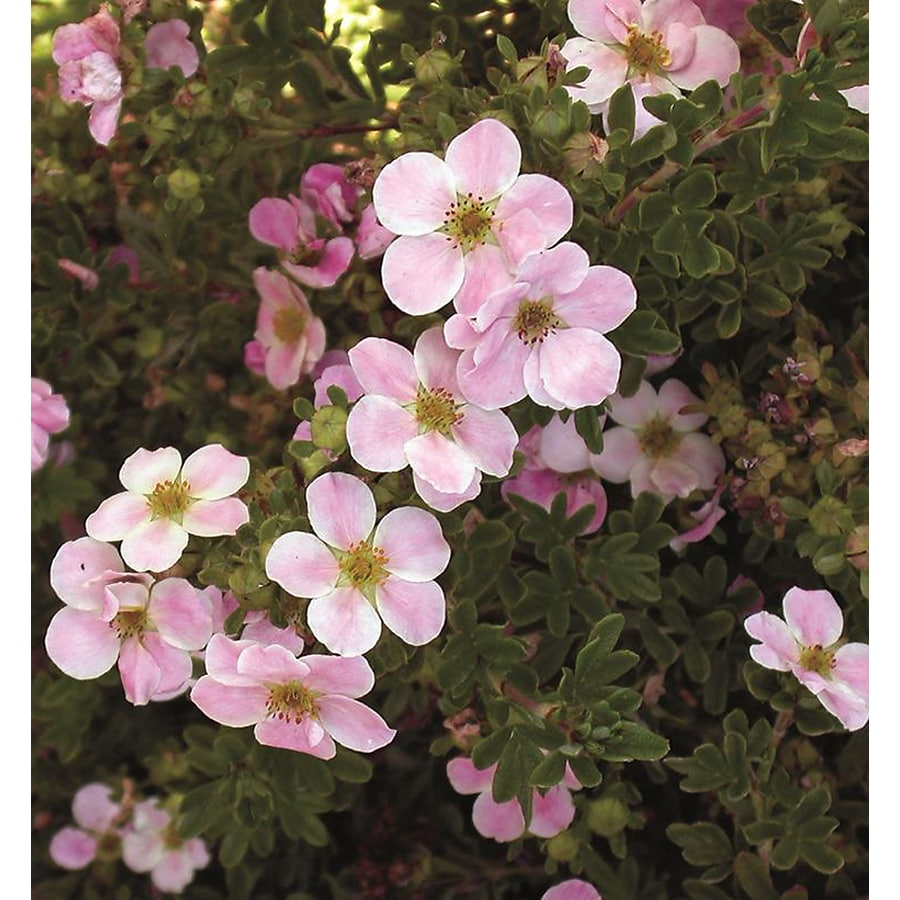 Monrovia 1.6-Gallon Pink Beauty Potentilla P9874 Flowering Shrub