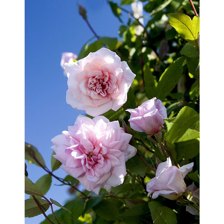 Monrovia 3.58-Gallon in Pot (with Soil) Cecile Brunner Climbing Rose