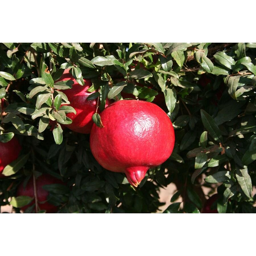 Monrovia 3.58-Gallon Orange Pomegranate Accent Shrub