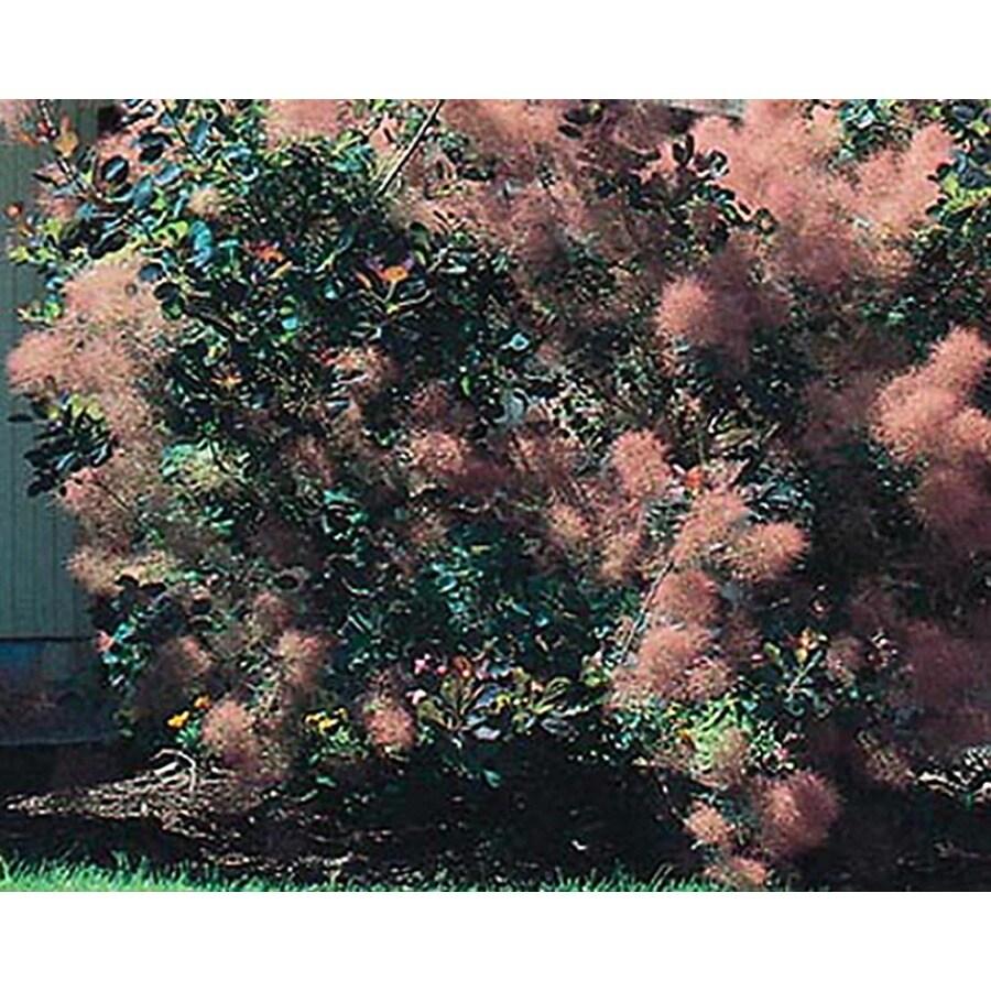 2.25-Gallon Pink Smoke Tree Feature Shrub (L4697)