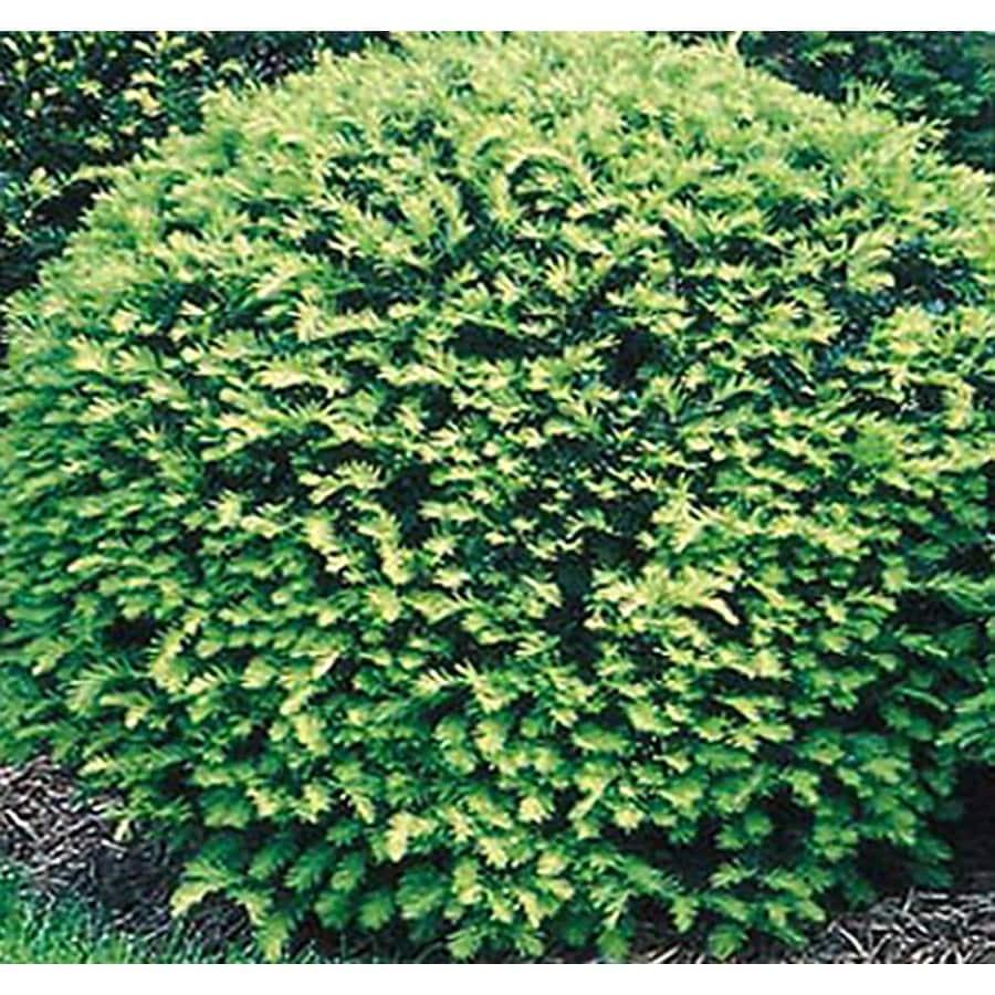 2.25-Gallon Globe Yew Foundation/Hedge Shrub (L4606)