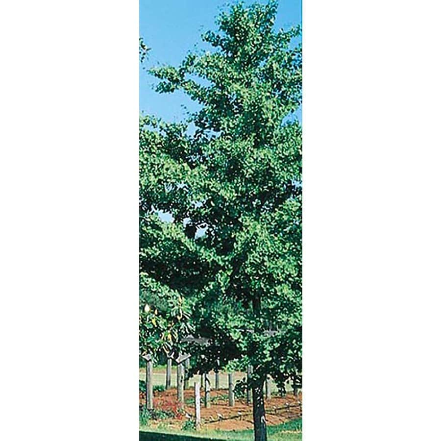 3.25-Gallon D. D. Blanchard Magnolia Flowering Tree (L1171)