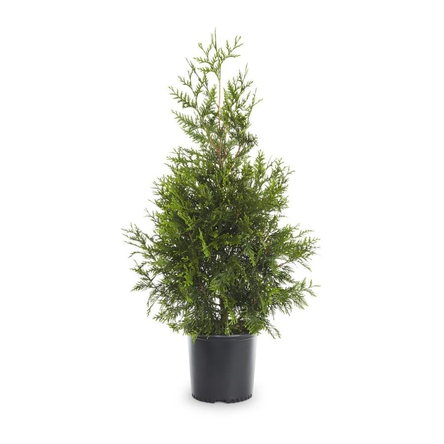 2.25-Gallon Green Giant Arborvitae Screening Shrub (LW01577)