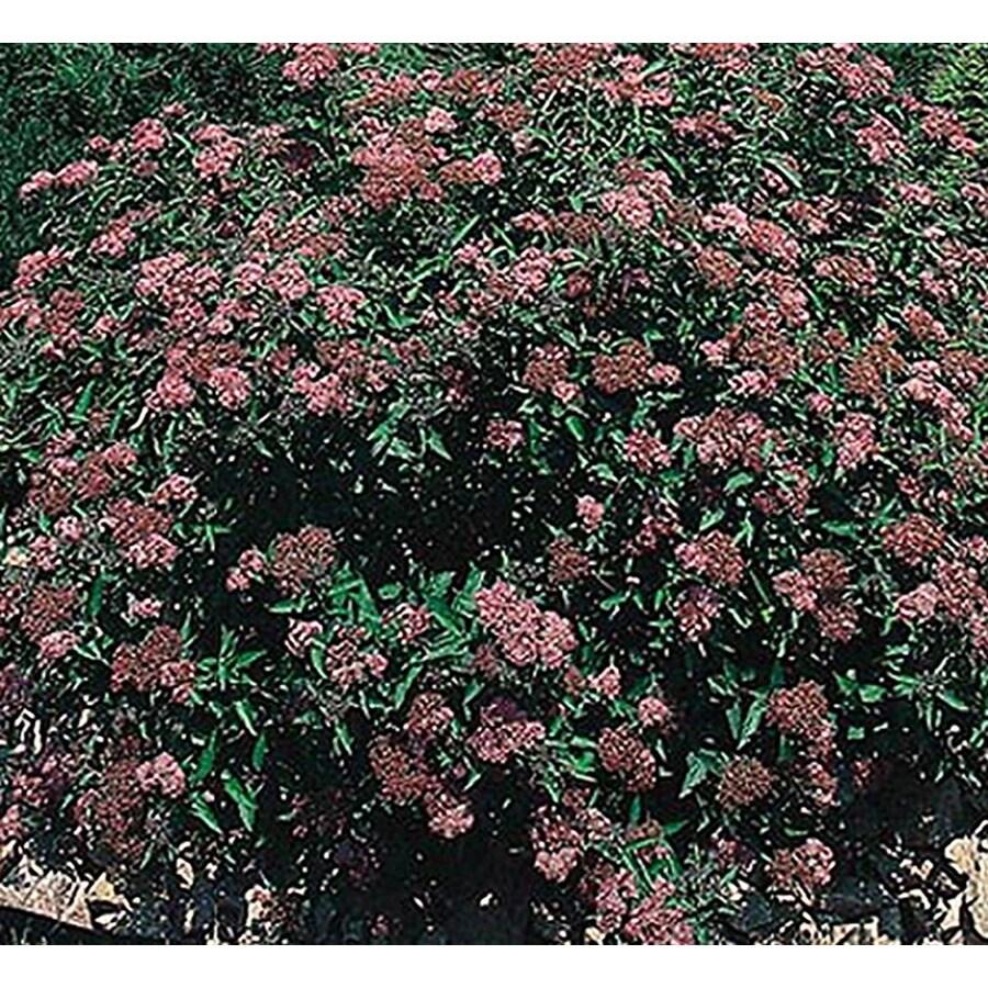 3.25-Gallon Red Anthony Waterer Spirea Flowering Shrub (L3754)
