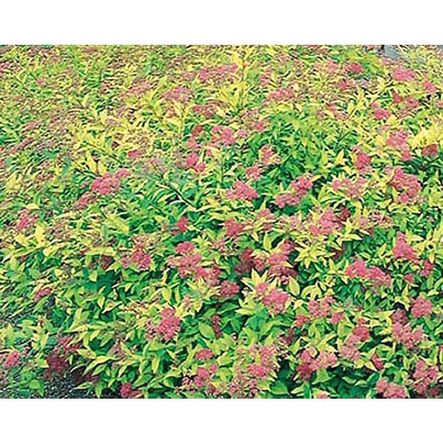 Shop 325 gallon pink goldflame spirea flowering shrub l8408 at 325 gallon pink goldflame spirea flowering shrub l8408 mightylinksfo
