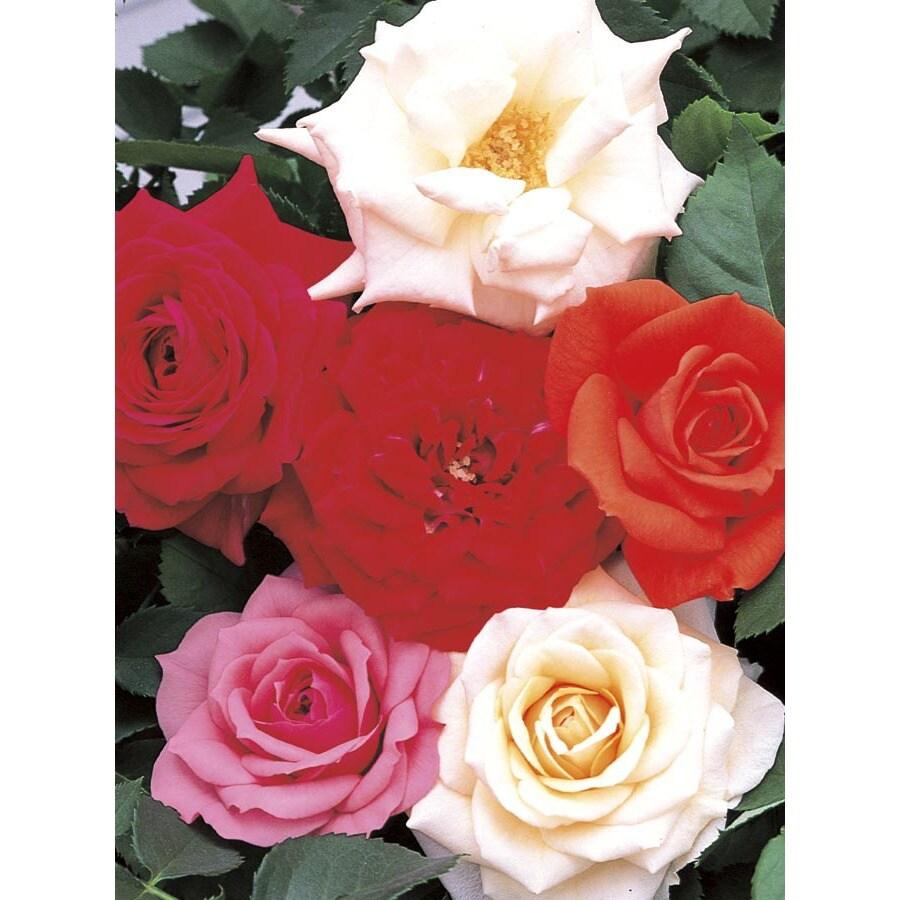 2.5-Quart Assorted Miniature Roses (L11449)