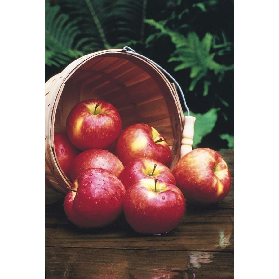 3.25-Gallon Red Delicious Dwarf Apple Tree (L1320)