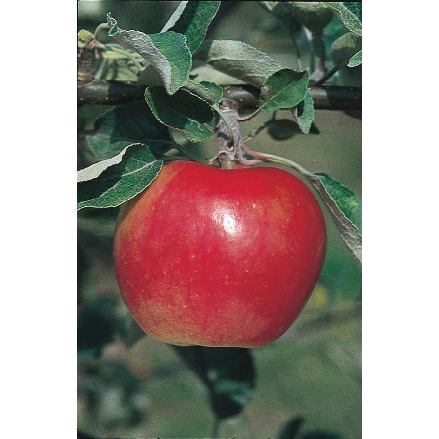 3.25-Gallon Winesap Apple Tree (L1270)