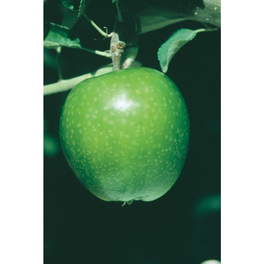 3.25-Gallon Granny Smith Apple Tree (L3198)