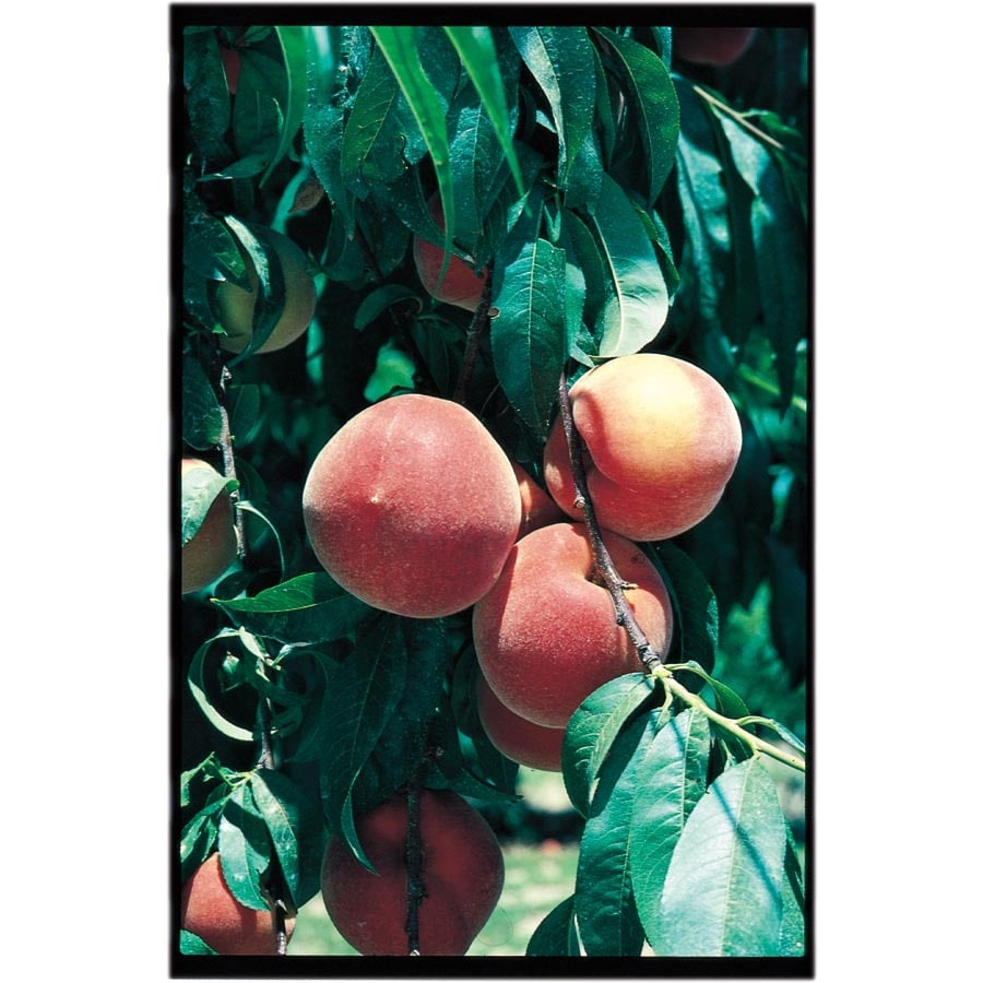 3.25-Gallon Early ELBerta Peach Tree (L1331)