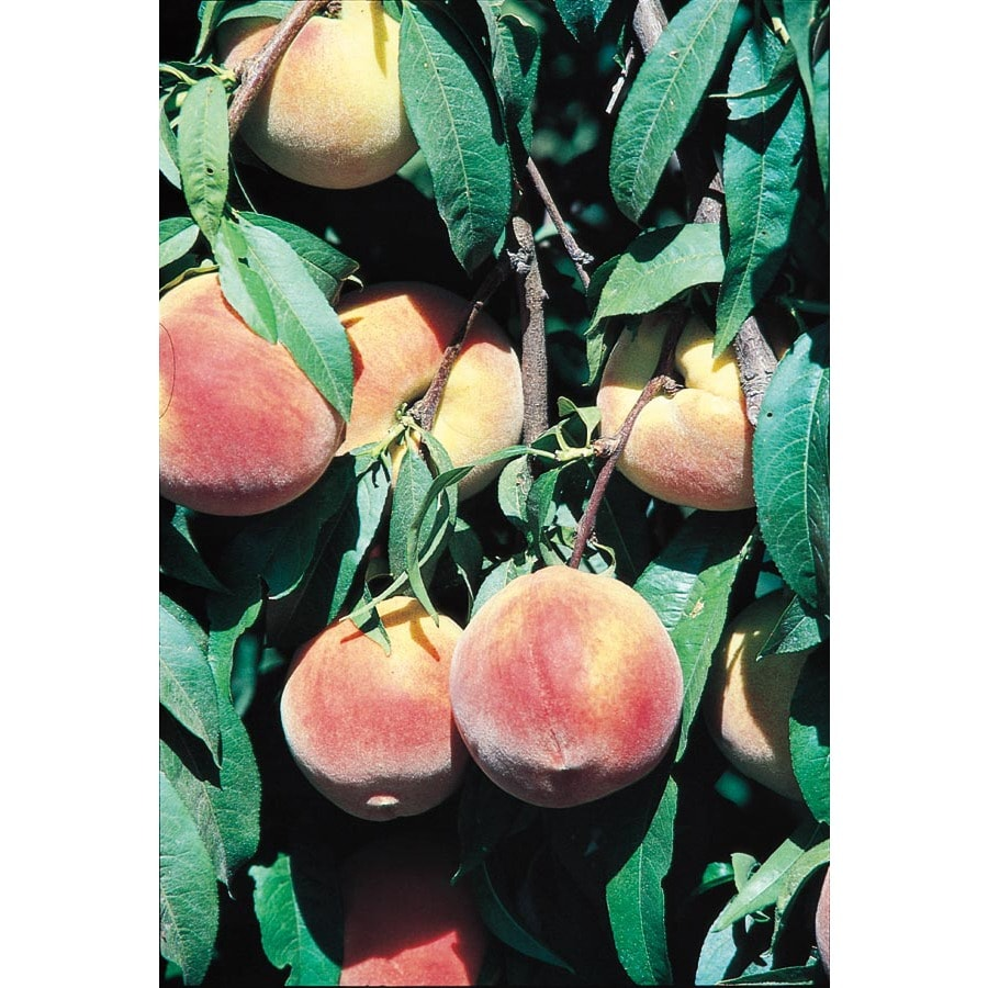 3.25-Gallon Flordawon Peach Dwarf Tree Tree (L4878)