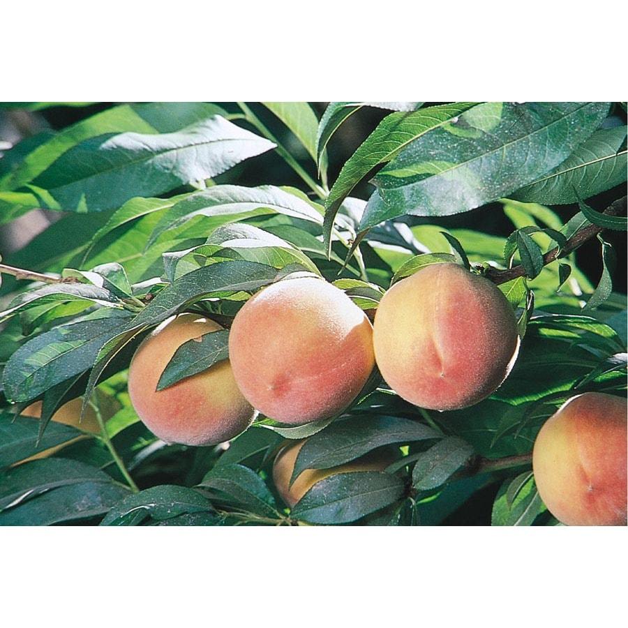 3.25-Gallon J.H. Hale Peach Tree (L1258)