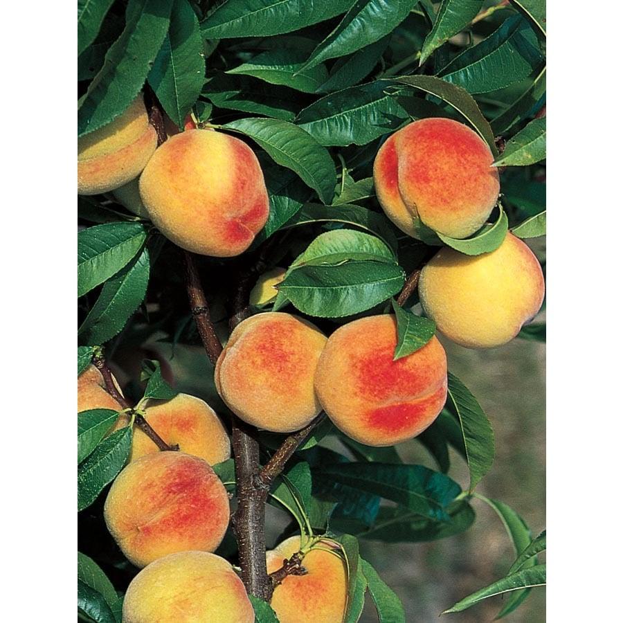 3.25-Gallon La Feliciana Peach Tree (L1337)