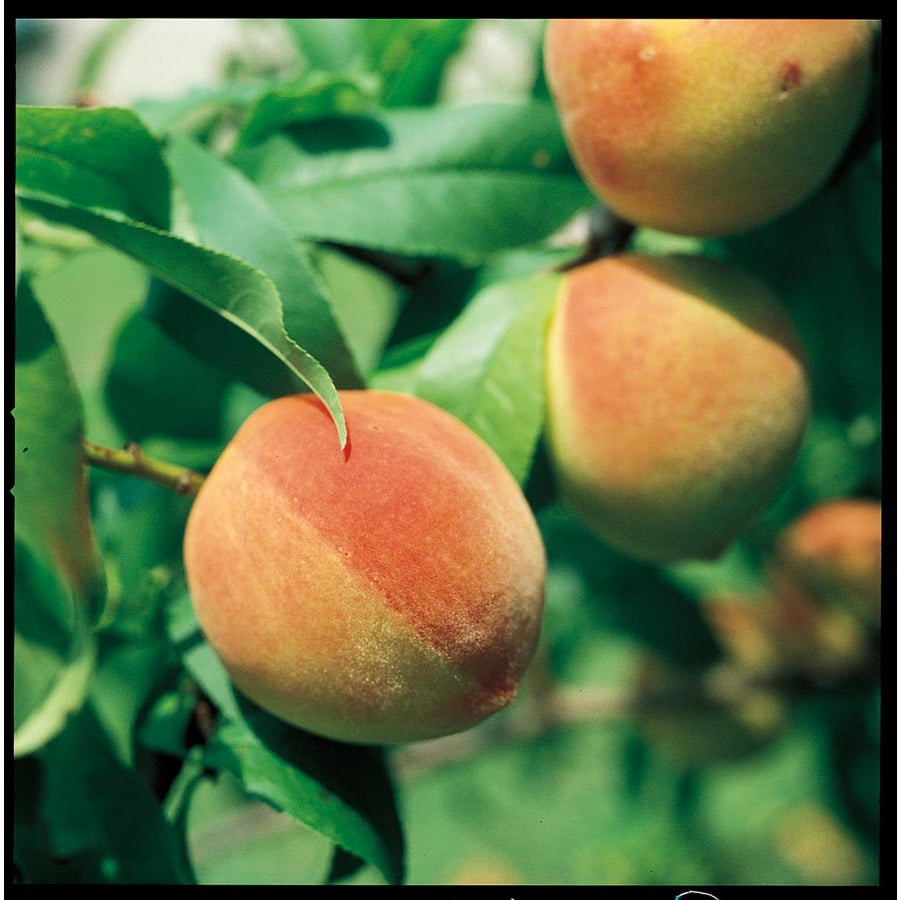 3.25-Gallon Sam Houston Peach Tree (L1273)