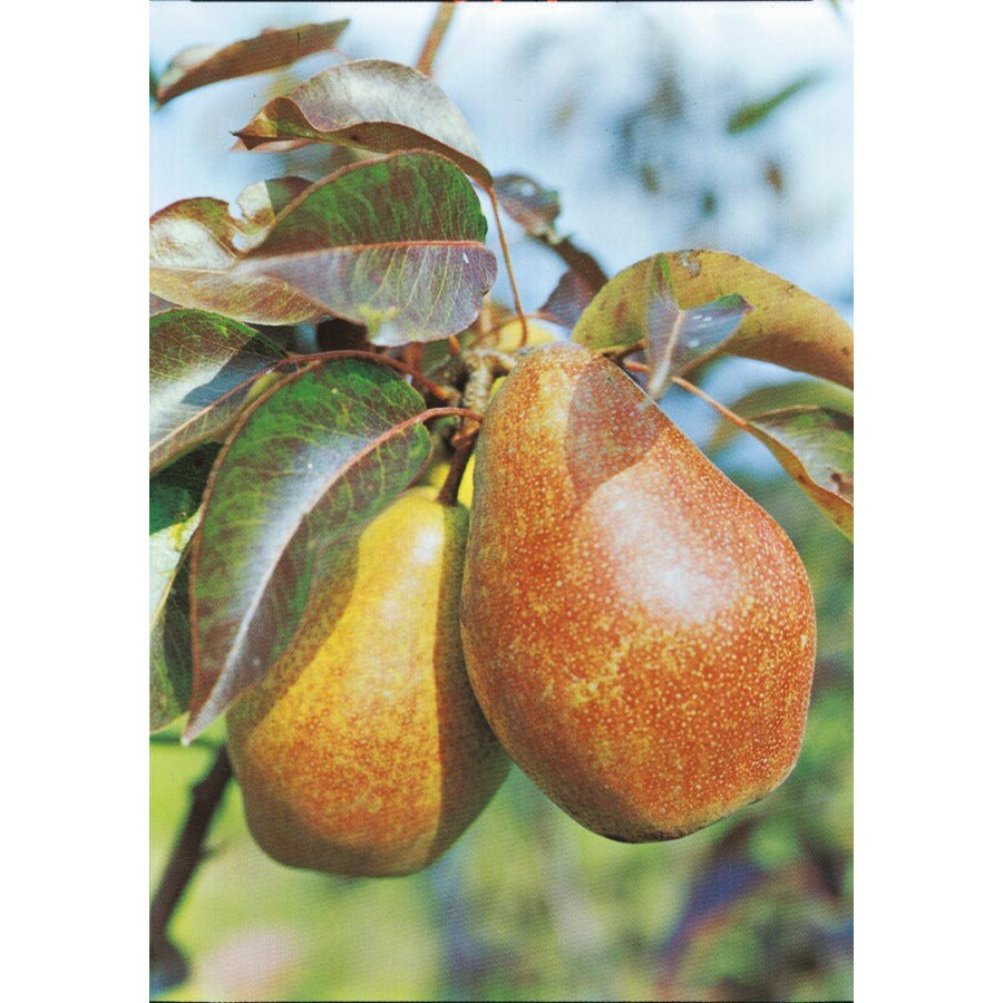 3.25-Gallon Hood Pear Tree (L4905)