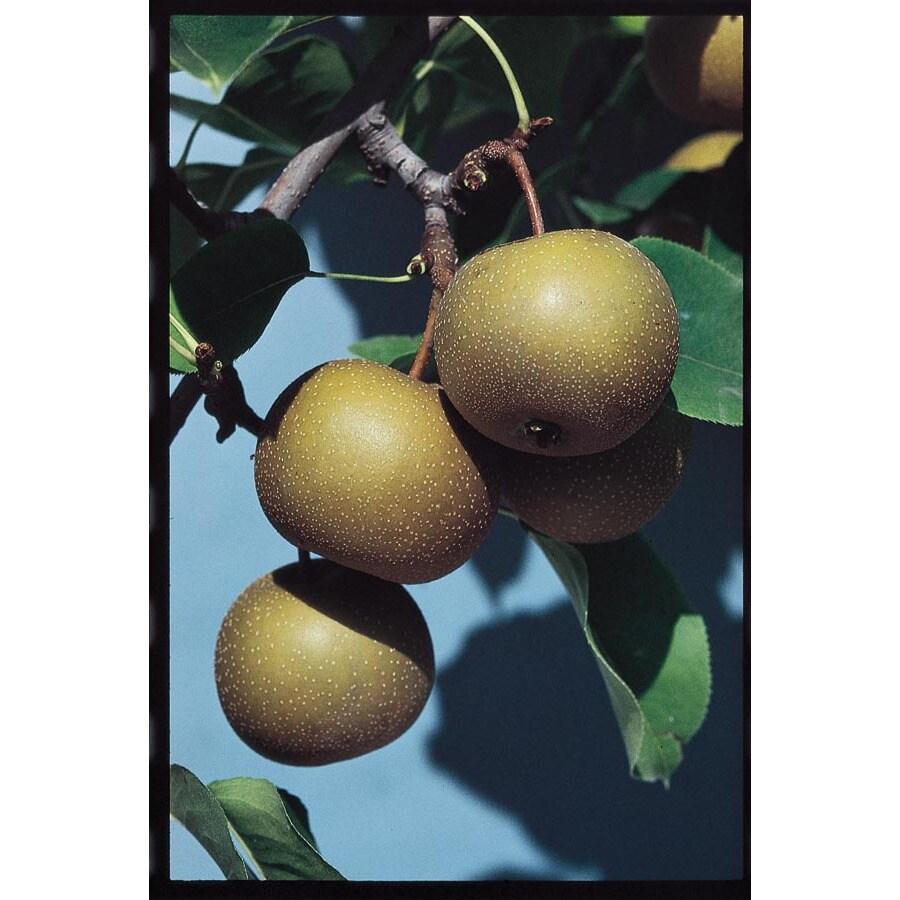 3.25-Gallon Moonglow Pear Tree (L1395)