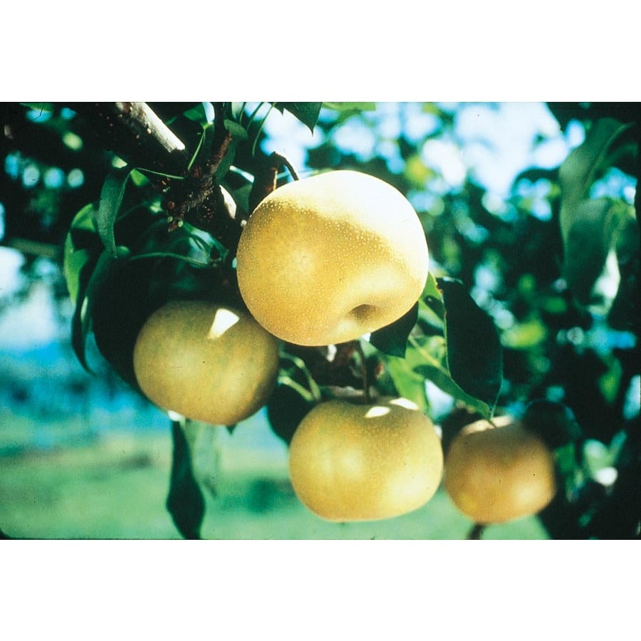 3.25-Gallon Orient Pear Tree (L1343)