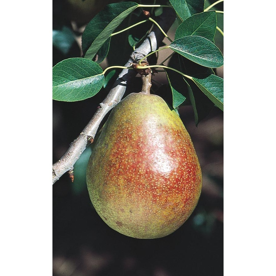 3.25-Gallon Sugar (Seckel) Pear Tree (L4932)