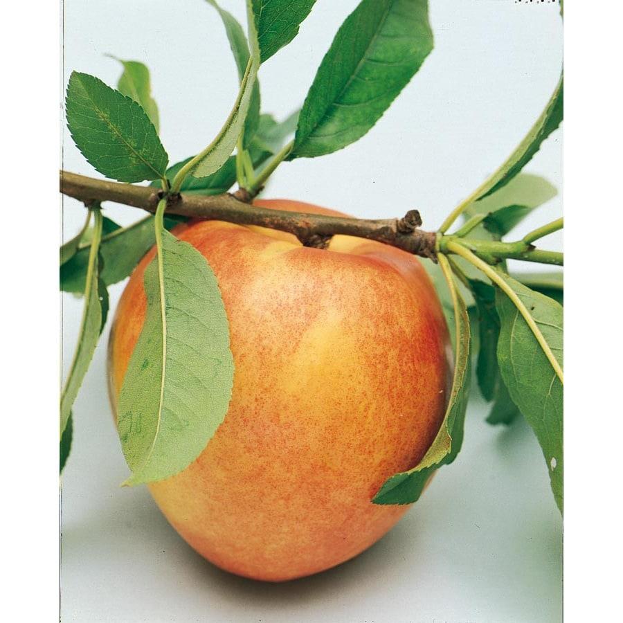 3.25-Gallon Golden Prolific Nectarine Tree (L6143)