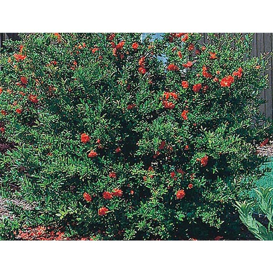 3.25-Gallon Red Dwarf Pomegranate Accent Shrub (L5944)