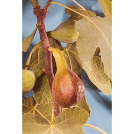 Brown Turkey Fig Tree