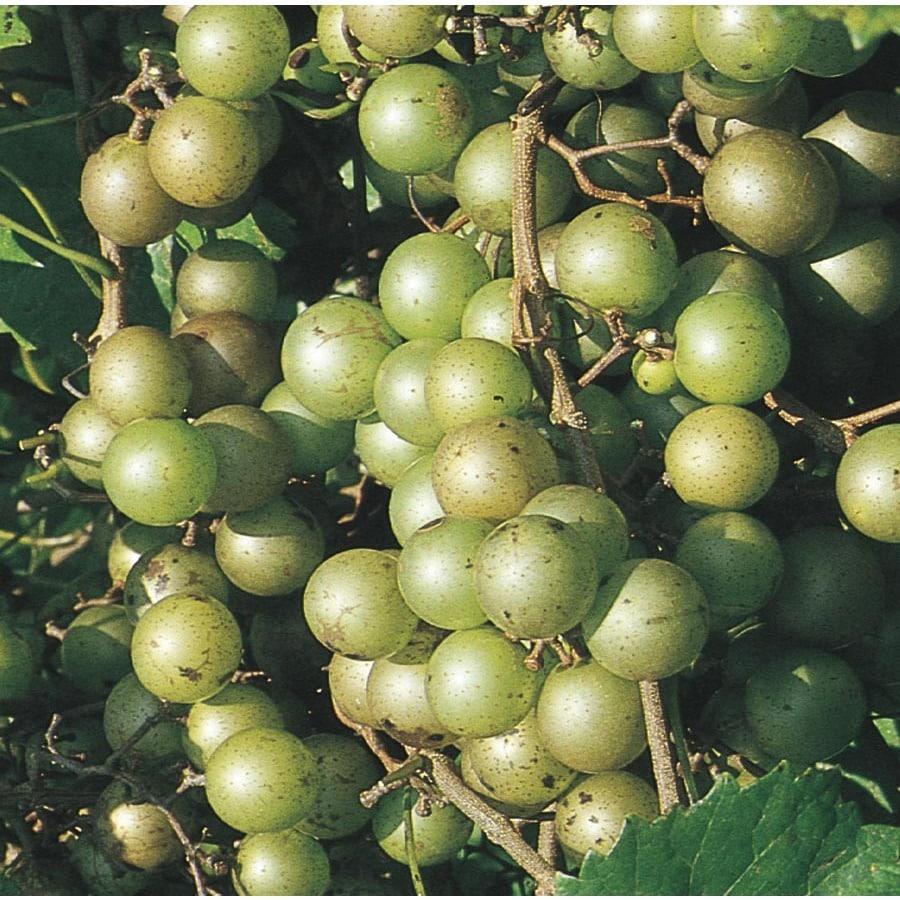 1.5-Gallon Muscadine Grape Small Fruit (L9519)